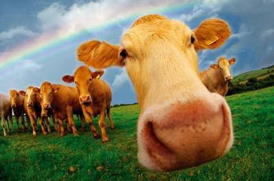 Коровы с именем дают больше молока